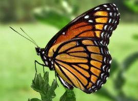 Viceroy Butterfly (Limenitis archippus) (Monarch Mimic) PiccoloNamek